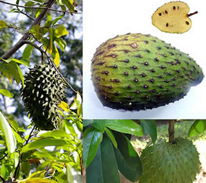 Soursop Fruit 100 Fold Stronger At Killing Cancer Than Chemotherapy Dominica Vibes News