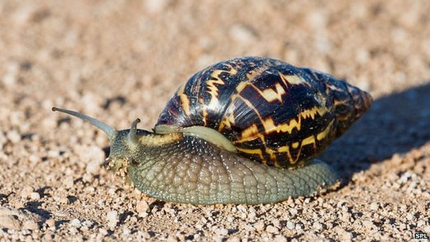 Minsistry of BGEANFS  to conduct baiting exercises for Giant African snails in April