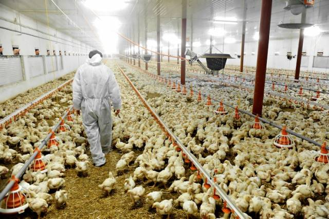 St Lucia places temporary ban on all UK poultry imports