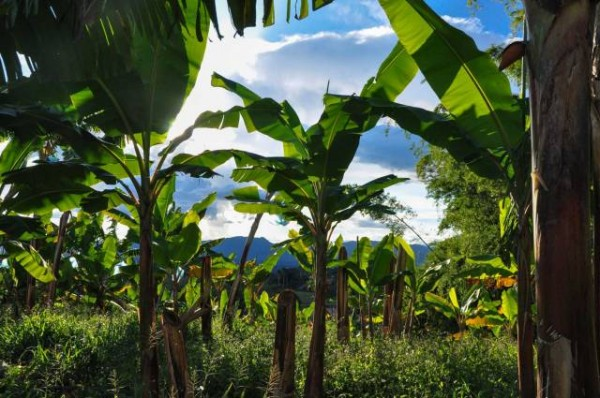 dominica to import banana plants from france dominica