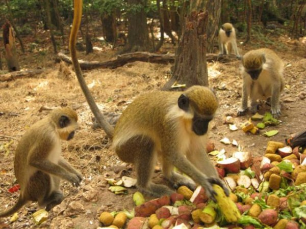 Barbados To Conduct Study On Green Monkey Dominica Vibes