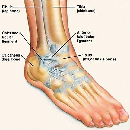 Ankle ligaments