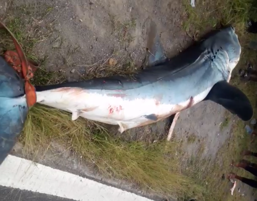 Statement on the Shortfin Mako Shark captured along the Tarreau Coastline